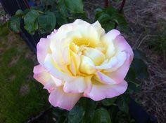 Rosebush #homegrown Pretty Flowers, Rose, Plants, Beautiful Flowers, Pink, Plant, Roses, Planets