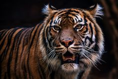 Tiger eyes - http://www.1pic4u.com/blog/2014/10/25/tiger-eyes-2/