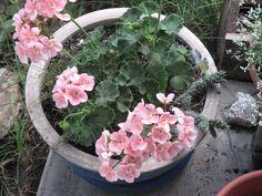 Geraniums on Patio