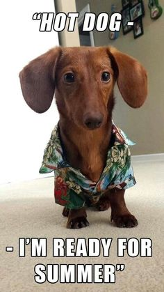 Discover The Cute Dachshund Grooming Dachshund Funny, Dapple Dachshund, Dachshund Puppies, Weenie Dogs, Dachshund Love, Funny Dogs, Cute Puppies, Cute Dogs, Doggies