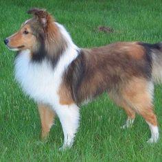 Great haircut for this adorable little sheltie! Shetland sheepdog contour trim dog