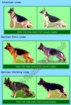 The working lines are usually smaller, have very little angulation, are usually only KKL2 (permitted to breed, but not recommended to breed). All German Shephe