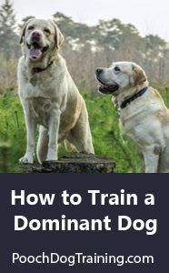 Learn How to Train a Dominant Dog at poochdogtraining.com| Pooch Dog Training