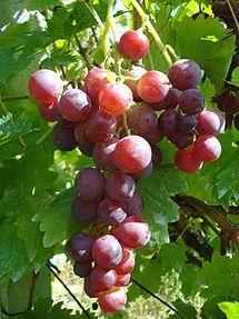 red cardinal grape, table grape variety, grown in Medjimurje County, northern Croatia Fruit And Veg, Fruits And Veggies, Fresh Fruit, Vegetables, Photo Fruit, Fruit Picture, Fruit Rose, Cool Wine Racks, Grape Vineyard