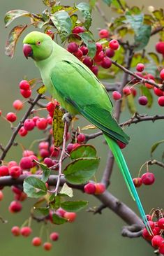 Indian Ringneck Parrot (Psittacula krameri), female. A noisy, gregarious parrot of India with feral and naturalized populations worldwide. photo: Siebe Wiersma.