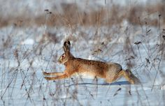 Khatenchitsy, Belarus: A hare runs in a field on a cold winter day Photograph: Vasily Fedosenko/Reuters  Warning - this collection of photos from the Guardian has some dead animal carcases as well as some beautiful photos.