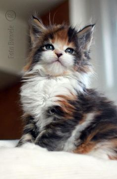 Fluffy Calico with adorable cheeks !!!