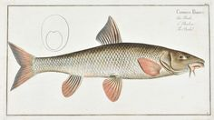 The Barbel by Marcus Bloch c. 1796 Hand Colored Antique Fish