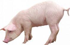 Pig cochin png cut oug 1-203.png (500×325)