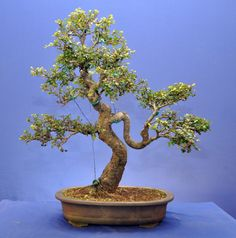 Cotoneaster Bonsai, Bonsai Styles, Indoor Bonsai, Bonsai Garden, Greenery, Workshop, Plants, Trees, Gardening