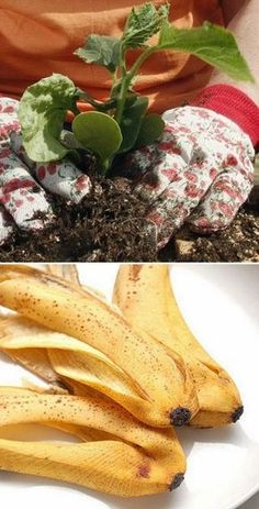 Just flatten a banana peel and bury it under one inch of soil at the base of a tomato plant. The peel's potassium feeds the plant and helps it resist disease..