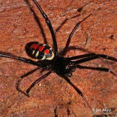 Northern Black Widow - Latrodectus variolus