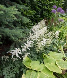 12 Best Companion Plants for Hostas - Longfield Gardens Hostas can hold their own in a shade garden, but pairing them with bulbs and other perennials will accentuate their natural beauty and extend the season. Shade Garden Plants, Hosta Plants, Shade Perennials, Hardy Plants, Companion Gardening, Woodland Garden, Back Gardens, Astilbe, Backyard Landscaping
