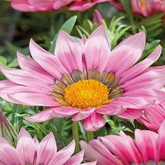 Gazania New Day & Pink Shade-Frö till Gazania New Day & Pink Shade