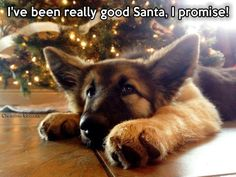 The german shepherd german shepherd. I Love Dogs, Cute Dogs, German Shepherd Puppies, German Shepherds, Funny Animals, Cute Animals, Funny Pets, Baby Animals, Schaefer