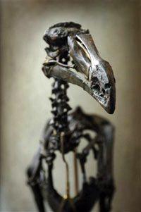dodo bionica