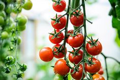Discover eight ways to boost your tomato harvest, including advice on watering, feeding and pinching out sideshoots, from BBC Gardeners' World Magazine.