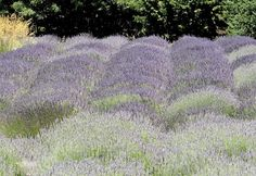 ...a quiet life...: lavender moments~ purple waves ♥