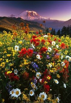 Wildflowers for a Friday morning from the base of Mt Rainier National Park