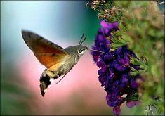 It's a bird, it's a plane … actually it's a humming bird moth.