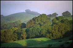 The rolling hills and the magnificent oak trees of the Central Coast of California. 20 species of oak dot the California coast and inland areas. The oaks, many of which grow to be from 100 to 500 years old, surround and are part of most of the delightful wineries.