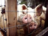 Read why Russia said no to American pigs, at www.liattorney.com/scales-of-justice.html.