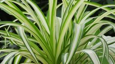 Sansevieria Trifasciata, Chlorophytum, Flower Pictures, Plant Care, My Flower, House Plants, Genere, Mascara, Indoor