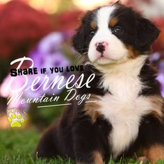 We love Bernese Mountain Dogs! Do you? Pin it to prove it! Then click the pick to see more beautiful Bernese Mountain Dogs looking for forever homes! #BerneseMountainDog #puppylove https://www.lancasterpuppies.com/puppy-search/breed/bernese%20mountain%20dog