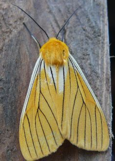 south american moths - Google Search