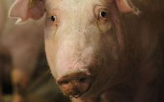 10 Things Everyone Should Know About Factory Farmed Animals @ http://www.care2.com/causes/10-things-everyone-should-know-about-factory-farmed-animals.html