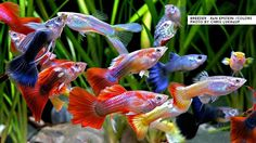 Guppies are a very easy-to-breed fish species. They also adapt quickly to their environment and this is what makes them perfect for beginner aquarists. Here is Different Types of Guppies In The World Tropical Freshwater Fish, Tropical Fish Aquarium, Freshwater Aquarium Fish, Aquarium Fish Tank, Planted Aquarium, Guppy, Cichlid Aquarium, Tetra Fish, Beautiful Fish