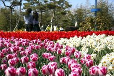 Couples taking a picture with a tulip background in a flower festival, Taean, South Korea
