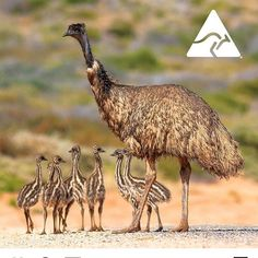 """GANG GANG Gallery on Instagram: """"I love this photo!"""" Emu, Camel, My Love, Gallery, Animals, Instagram, Animales, Roof Rack, Animaux"""
