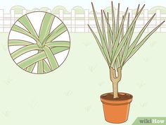 How to Care for a Madagascar Dragon Tree. The Madagascar dragon tree, or Dracaena marginata, is a reliable and low-maintenance indoor plant. If you live in a warm area with extremely mild winters, you can also keep this colorful tree. Madagascar Dragon Tree, Green Bedroom Decor, Low Maintenance Indoor Plants, Colorful Trees, Potting Soil, Plant Care, 5 Ways, House Plants, Roots