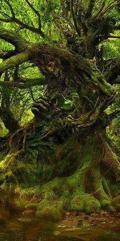 love this tree, it's so beautiful. Sacred tree in the magical forest where faeries and other elementals call home, play, and dance Magical Forest, Tree Forest, Magical Tree, Dark Forest, Beltaine, Tree People, Unique Trees, Green Man, Tree Art