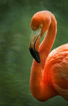 Amazing wildlife -  Orange Flamingo photo #flamingos