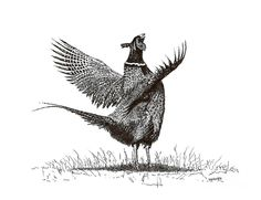 Pen and Ink Art | Pen And Ink Drawing Of Pheasant In Black And White Drawing