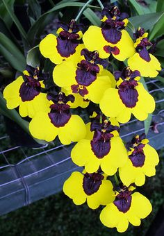 Oncidium carbon - Flickr - Photo Sharing!