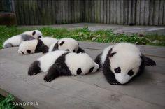 141008_月亮産室の赤ちゃんパンダたち
