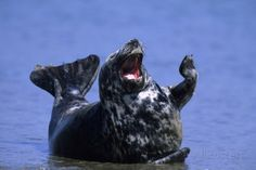 Gray Seal, (Halichoerus Grypus), Helgoland, Schleswig-Holstein, Germany - Ha Ha, you so funny !!