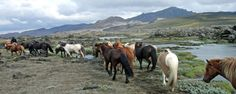 Reittour - Pferdeabtrieb Nordwestisland - Island ProTravel