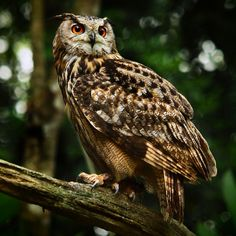 eurasian eagle owl (photo by irawan subingar)