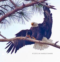 Bald Eagle. Woo-hoo!