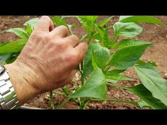 Beautiful Gardens, Garden Plants, Farmer, Plant Leaves, The Creator, Stuffed Peppers, Vegetables, Green, Flowers