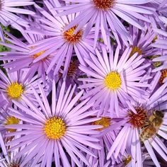 Aster x frikartii 'Monch' is a great fall bloomer and features lovely lavender flowers. Like other members of the Asteraceae family, this aster is a great source of both pollen and nectar for bees. The honey bees out in our gardens sure seem to think so!