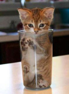 kitten cup