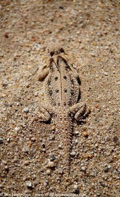 Flat-tail Horned Lizard in Anza-Borrego Desert State Park, California,U.S (Phrynosoma mcalli)