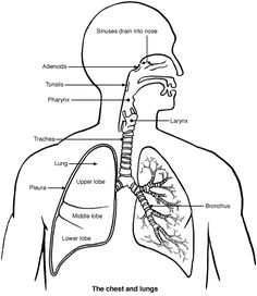 Structure of the human respiratory system explicated with diagrams lung diagram images google search ccuart Gallery