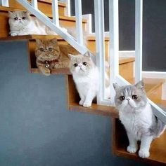 I want an exotic shorthair!!!