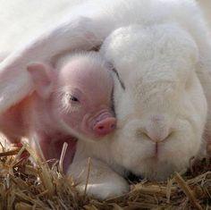 Piggy and Bunny